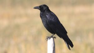 Carrion_Crow_(Corvus_corone)_(4)